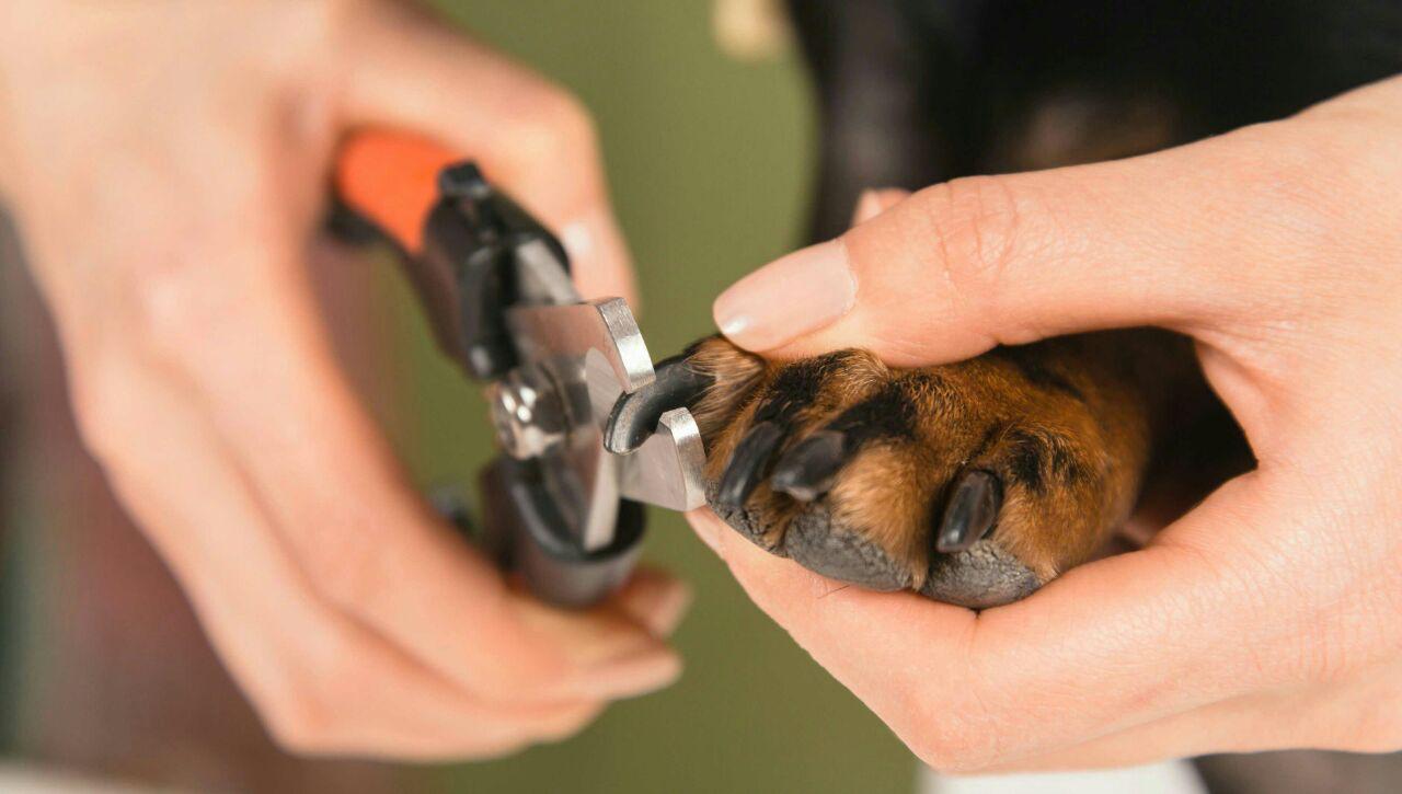 چگونه ناخن سگ را کوتاه کنیم ؟