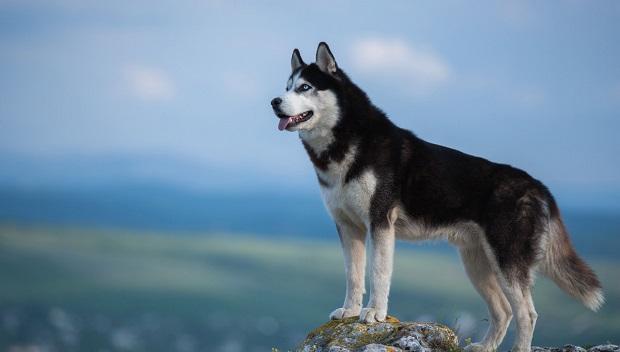 علت پرورش این نژاد، دویدن بوده است که در نتیجه، باید حداقل دو بار در هفته بدوند. سیبرین هاسکیها سگ هایی بسیار سرسخت هستند و عمدتاً تا ۱۴ سال عمر میکنند.