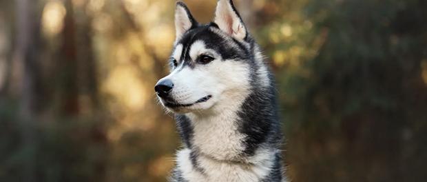 سگهای سیبرین هاسکی، موهایی پرپشت و مخملی همراه با کمی کرک دارند. چروک کوچکی در اطراف گردن وجود دارد، اما چین و چروک بزرگی در پاها یا دم دیده نمیشود. رنگ آنها از سیاه تا سفید و تمام رنگهای دیگر بین این دو میباشد. بیشتر آنها خطوط سفیدی در ناحیه قفسه سینه و پاها دارند.