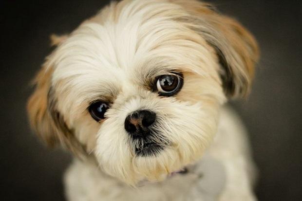 سگهای شیتزو دارای موهای زیبا، بلند و صافی هستند. این موی دو لایه خصوصاً در مواقعی که بلند نگه داشته میشود، به مراقبت بسیار زیادی نیاز دارد. موهای این سگ به همه انواع رنگها دیده میشود.
