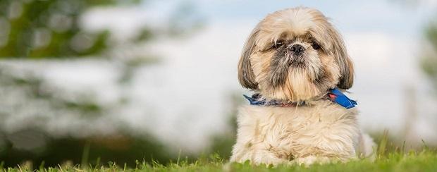 سگهای شیتزو معمولاً بدنی درشت و سری بزرگ دارند. پوزه، کمی کوتاه میباشد و بسیار آرام گاز میگیرند. سر، دایره مانند است و چشم ها، کمی برجسته به نظر میرسند. دم، با خوشحالی به روی پشت حیوان برمی گردد. گام ها، بلند هستند و برای این سگ، بسیار طولانی به نظر میرسند.