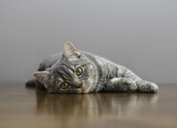 موی سر و یا یک اسباب بازی کوچک میتواند در معده گربه قرار بگیرد و شبیه یک جوراب درهم تنیده شود. جسم خارجی یا معده را مسدود میکند، یا در غیر این صورت باعث تخریب معده میشود و گربه را بیمار میکند.