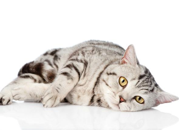 اگر استفراغ با تغییر رژیم همخوانی داشت، گربه خود را بر روی یک نوع غذا قرار دهید تا قبل از اینکه استفراغ مزمن شروع شود.