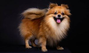 سگ پامرانین Pomeranian