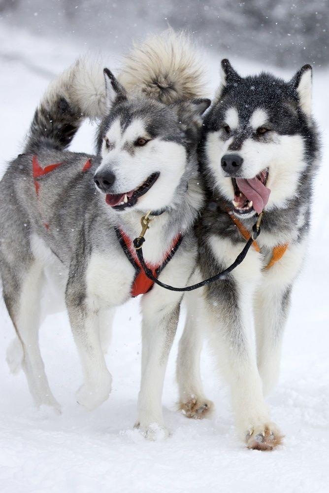 بازیهای تمرینی که جنبه اجتماعی داشته باشد بهترین سرگرمیهای سگهای Husky میباشد