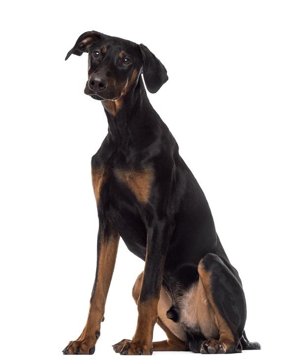 تغذیه یکی از مهمترین پارامترهای نگهداری از سگ دوبرمن است. این سگ در طول عمر خود میبایست از بهترین مواد غذایی تغذیه کند. معمولا این سگها زیر نظر یک دامپزشک رژیم غذایی سالم دریافت میکنند. در صورتی که غذای نادرست به این سگها داده شود دچار چاقی شده و مشکلات بسیاری پیدا خواهند کرد.