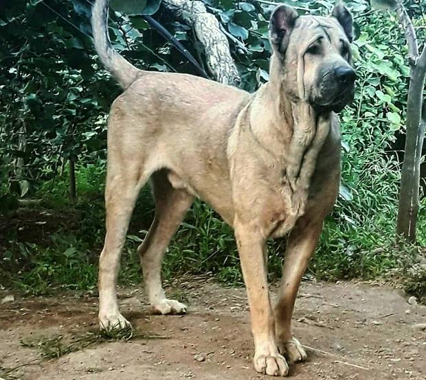 به طور کلی سگ Sarabi Mastiff بیشتر جنگجوی خوبی است و برای همین کار کاربرد دارد. این سگها در عین قدرتمند بودنشان میبایست توسط یک انسان رهبری شوند.