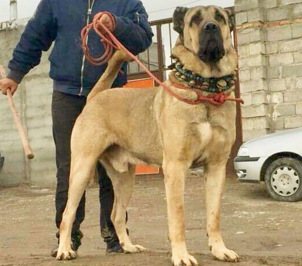 سگ سرابی یک حیوان قدرتمند است و کمتر پیش میآید که دچار مشکلاتی در سلامتی شود.