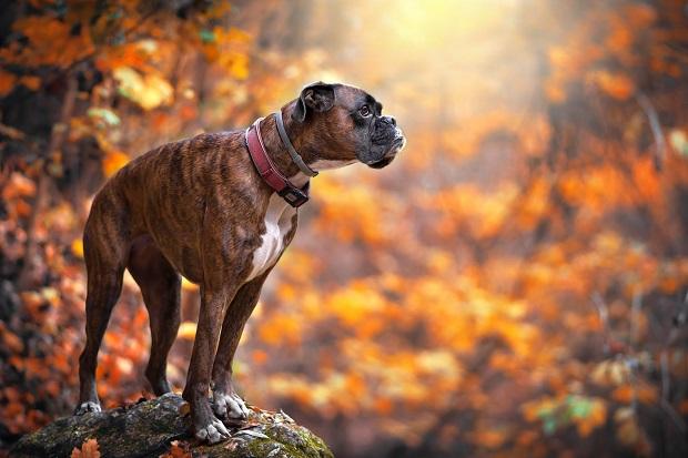 سگهای Boxer کوچک که جثهای ریز دارند معروف به Bullenbeisser میباشند و با این نام شناخته میشوند.
