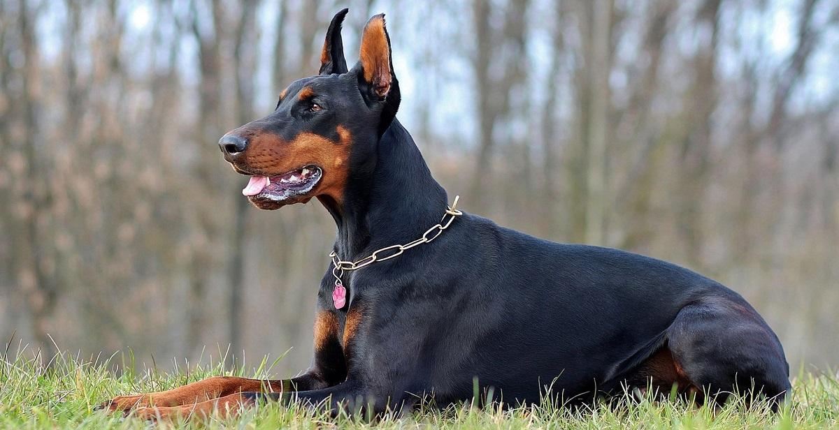 سگ دوبرمن Doberman