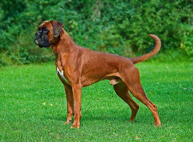 همه سگها نیاز به مراقبتهای خاصی دارند. نژاد سگ باکسر نیز نسبت به سرما یا گرمای زیاد بسیار حساس بوده و ممکن است که دچار بیماری و مشکل شود.