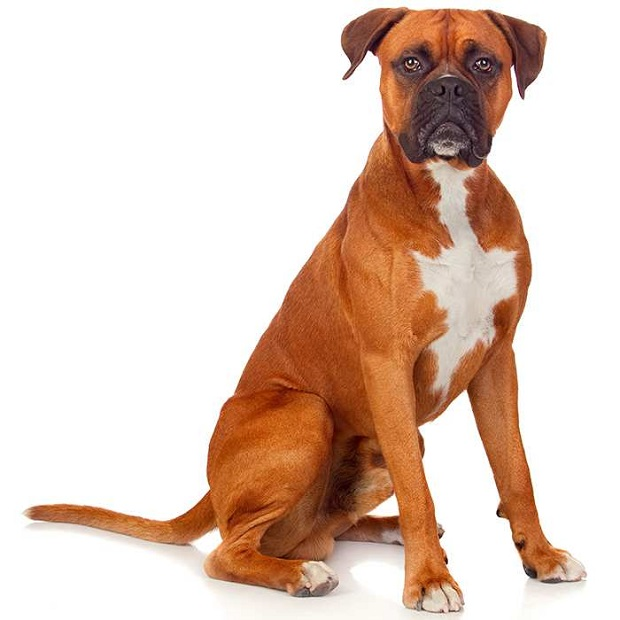 این سگها در محیطهای اجتماعی بسیار بهتر و راحت تر آموزش داده میشوند. تکرار میتواند برای یک سگ باکسر بسیار کسل کننده و خسته کننده باشد.