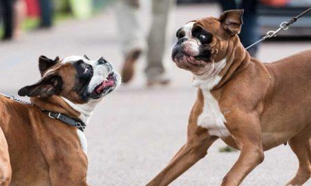 سگ باکسر Boxer