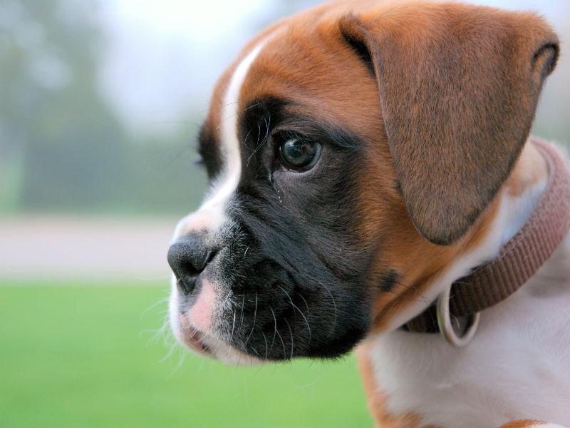 این نژاد سگها بازیگوشی و رفتارهای انرژیک را بسیار دوست دارند. خلق و خوی آنها بسیار شارژ و با انرژی میباشد.