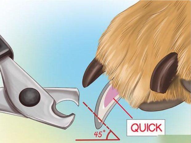 انتخاب محل درست گرفتن جهت کوتاه کردن ناخن سگ