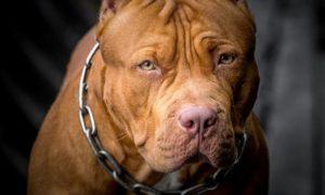 سگ پیت بول Pit bull