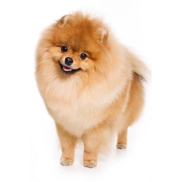 تاریخچه سگهای Spitz به فنلاند باز میگردد. این سگ قرنهای متمادی در فنلاند زندگی میکرده است.