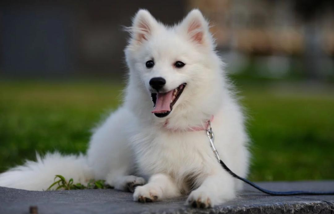 سگهای این نژاد بسیار با هوش و استعداد میباشند. روشهای آموزشی انگیزشی برای این سگها بسیار مفید و کارآمد است.