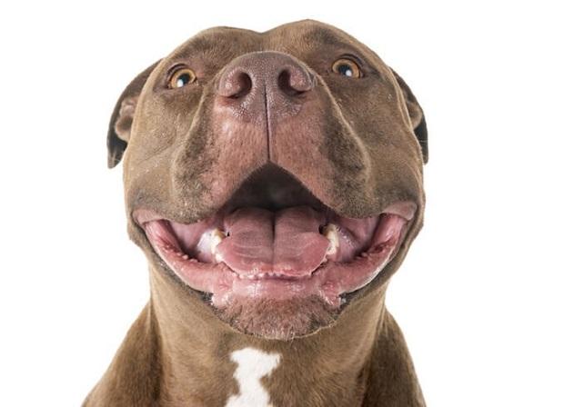 سگهای نژاد Pit bull در بین سایر بیماری هایی که ممکن است هر سگ کم و بیش به آن مبتلا شود به آلرژی بیشتر از همه مبتلا میشود.