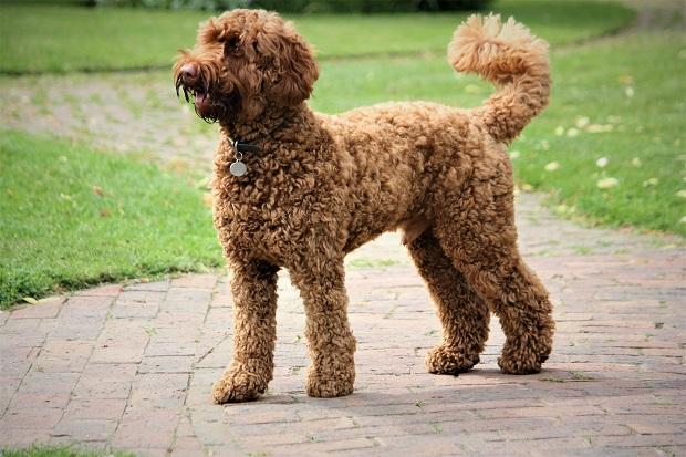 بر سر منشا سگهای Poodle اختلاف نظرهای بسیاری وجود دارد بسیاری بر این باورند که این سگ نژادی آلمانی دارد و معنای اسم آن نیز