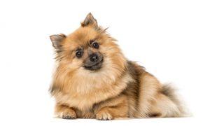 سگ اشپیتز Spitz