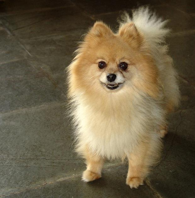 شخصی که تصمیم به نگهداری از سگ اشپیتز دارد میبایست این موضوع را در نظر داشته باشد که این سگها بیش از حد پارس میکنند و صدای بسیار بلند و رسایی دارند.