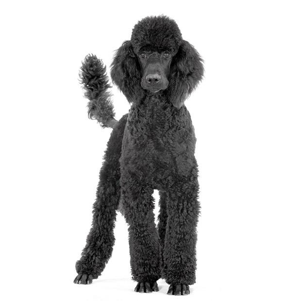 از آن جایی که نژاد Poodleها بسیار باهوش و زیرک میباشند و به شنا علاقه زیادی دارند، بسیار راحت میتوان این سگها را تحت آموزش در آب قرار داد.