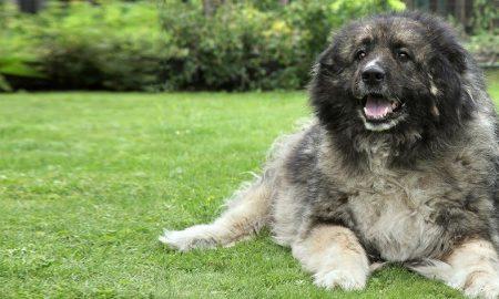 سگ قفقازی Caucasian