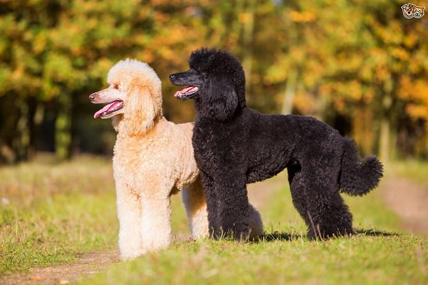 یکی از جذابیتهای این سگ موهای فرفری و بامزهاش است. پاهایش بسیار بلند و قوی میباشد.