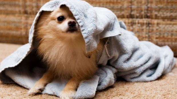 زندگی با سگهای نژاد Spitz خیلی دشوار نیست. تنها نکته بسیار مهم برای نگهداری این سگ این است که آب و هوای زندگی آنها میبایست سرد باشد.