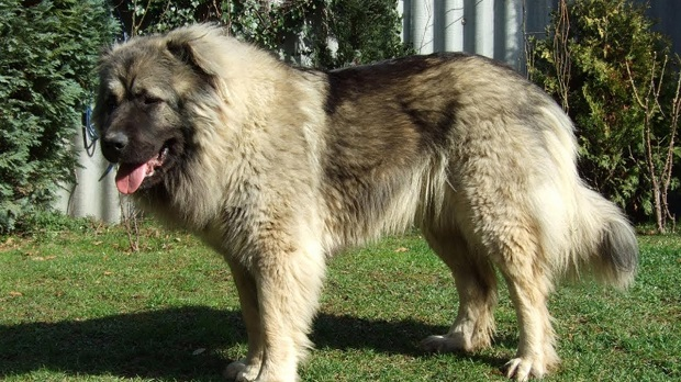 یک سگ قفقازی فقط در محیط وسیع و بزرگ راحت زندگی میکند. این سگ پیاده رویهای روزانه را بسیار دوست دارد. سگهای نژاد Caucasian از دسته سگهایی هستند که بسیار باهوش بوده و استقلال زیادی دارند. معمولا بهتر است که با قلاده جابه جا شوند اگر به راحتی تربیت میشوند ولی استقامت و قدرت این سگ زیاد است.