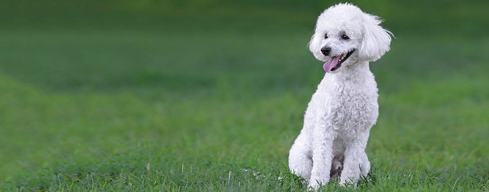 سگ پودل Poodle