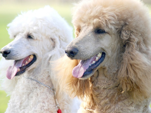 نظافت و رسیدگی به ظاهر سگهای Poodle یکی از سخت ترین و مهم ترین وظایف در نگهداری از آنها میباشد. موهای این سگ را میبایست طبق رویش خاصی که دارند اصلاح کرد.
