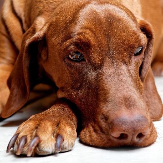 علائمی مانند چاقی، خستگی ذهنی، افتادگی پلک میتواند مشکلاتی در تیروئید این سگ را هشدار دهد.