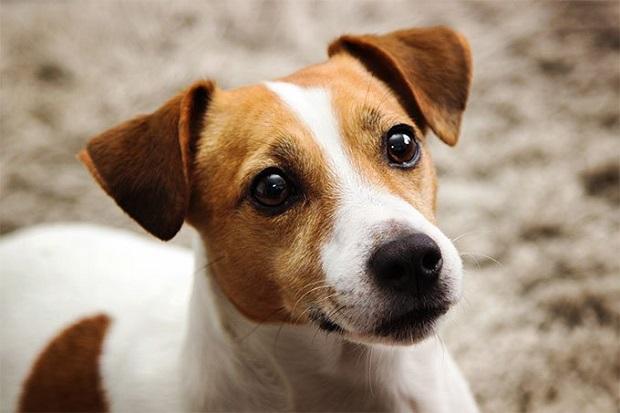 سگ جک راسل یک سگ بسیار شاد و پر انرژی میباشد که تمایل آن بیشتر به انجام دادن کارهای مختلف فیزیکی میباشد.