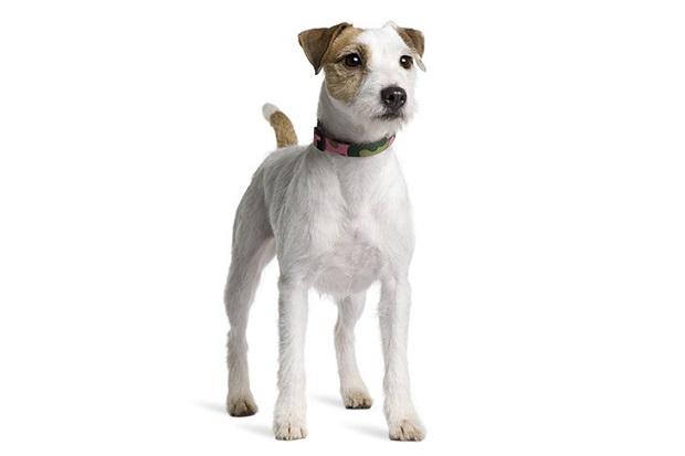 سگ جک راسل یک سگ هشدار دهنده خوب به شمار میرود. یکی از خصلتهای برتر این نژاد این است که قادر هستند به خوبی بر همه کارها نظارت داشته باشند.