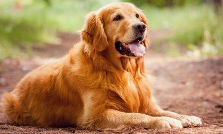 سگ گلدن رتریور Golden Retriever