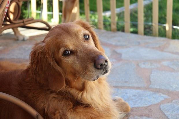یکی از شایع ترین مشکلات سلامتی و بیماریهایی که در بین سگهای نژاد Golden Retriever به وفور مشاهده میشود دیسپازی هیپ میباشد. این بیماری در واقع یک شکل بسیار ناهنجار از آرتریت میباشد.