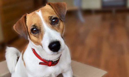 سگ جک راسل Jack Russell Terrier