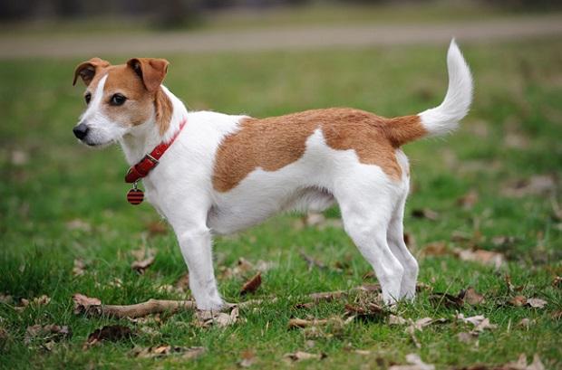 بیشتر سگهای نژاد Jack Russell Terrier سالم و سلامت هستند. این سگها کمتر از سایر سگها دچار بیماری و مشکلات جسمی خواهند شد.