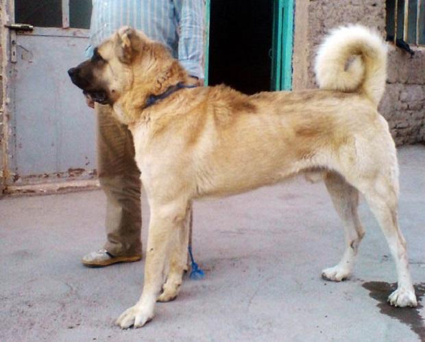 استخوانهای این سگ به خصوص استخوانها در ناحیه پا بسیار بزرگ و درشت هستند به همین دلیل سگ سرابی معمولا پاهایی سنگین دارد.
