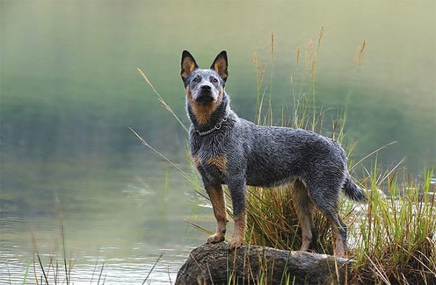 این سگ یکی از بهترین نژادهای نگهبان است که هوش استثنایی دارد.