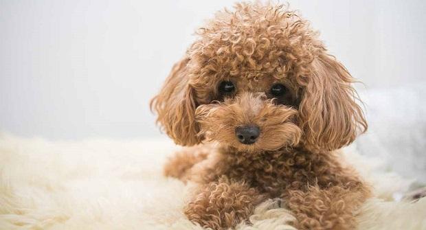 ظاهر سگ Poodle بسیار فانتزی و جذاب است که همیشه به عنوان سگ نگهبان و یا گله دار مورد استفاده قرار میگیرد.