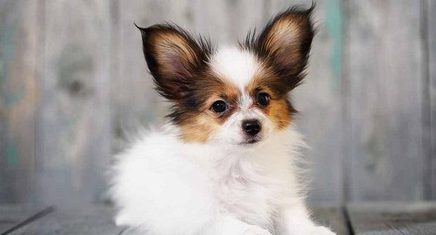 این سگ از رده سگهای کوتوله اسپانیلز میباشد که همه او را به عنوان یک سگ اسباب بازی میشناسند.