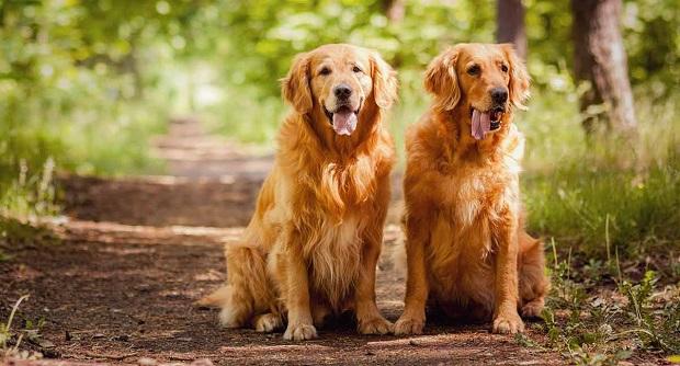 Golden Retrievers را معمولا به دلیل این که سگ قدرتمندی است میشناسند
