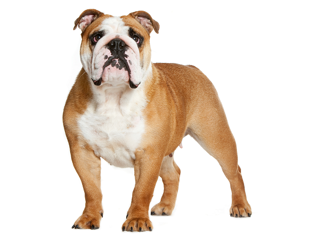 خشکی چشم در سگ بولداگ زمانی رخ میدهد که میزان اشک چشم کافی نباشد. علائمی مانند آبی رنگ شدن چشم، خشکی چشم میتواند شروع این حالت باشد.