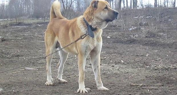 سایر نژادهای سگ به آرتروز مبتلا میشوند اما سگ Sarabi Mastiff به دلیل اندام سنگین و استخوانهای بسیار درشتی که دارد در بیماری آرتروز آسیبهای بیشتری میبیند و این بیماری تاثیر زیادی در نحوه زندگی آن به جا میگذارد.