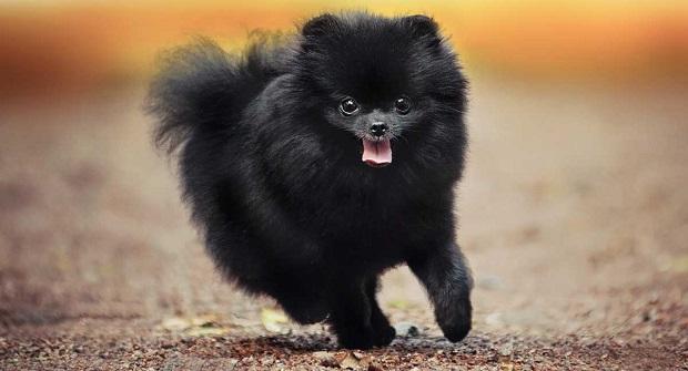 پامرها معمولاً سگهای کوچک و دوست داشتنی هستند و برخلاف جثه کوچکشان گاهی اوقات با سگهای نژاد بزرگ تر از خودشان میجنگند و آنها را تهدید میکنند.