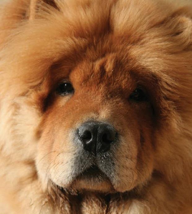 یک پیاده روی سبک و یا بازیهایی در سطح متوسط برای این نژاد سگ کفایت میکند