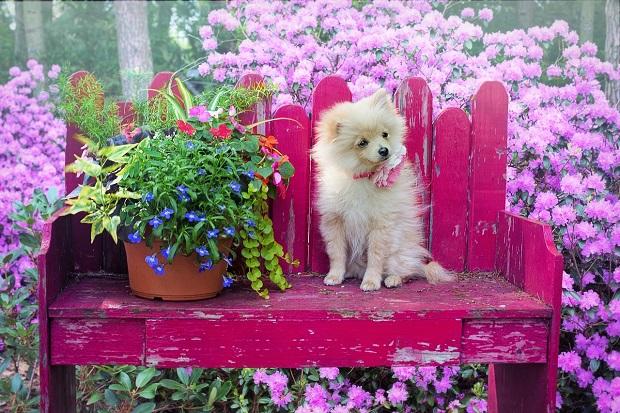 سگ پامرانین بیشتر از سایر نژادها دچار چاقی میشوند. چرا که جنب و جوش و فعالیت فیزیکی زیاد آنها مانع افزایش وزنشان میشود. توله سگهای Pamarin نیاز به آموزش و مراقبت ویژه دارند